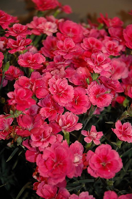 Everlast dark pink pinks dianthus everlast dark pink in inver everlast dark pink pinks dianthus everlast dark pink at gertens mightylinksfo