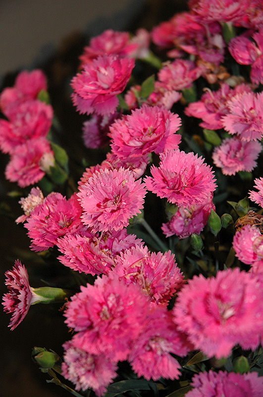 Everlast Orchid Pinks Dianthus Everlast Orchid In
