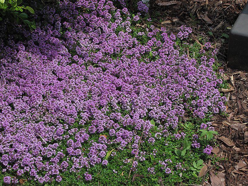 Purple carpet creeping thyme thymus praecox purple carpet in purple carpet creeping thyme thymus praecox purple carpet at gertens mightylinksfo