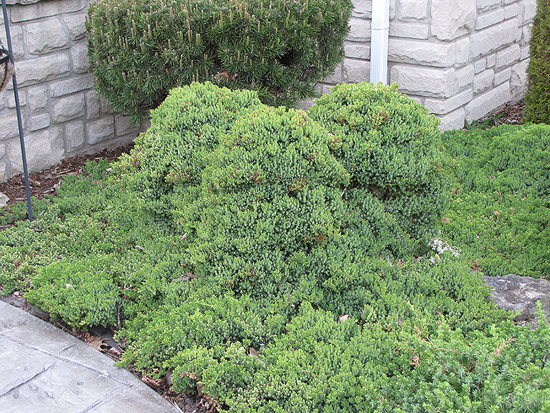 Dwarf Japanese Garden Juniper (Juniperus procumbens \'Nana\') in Inver ...