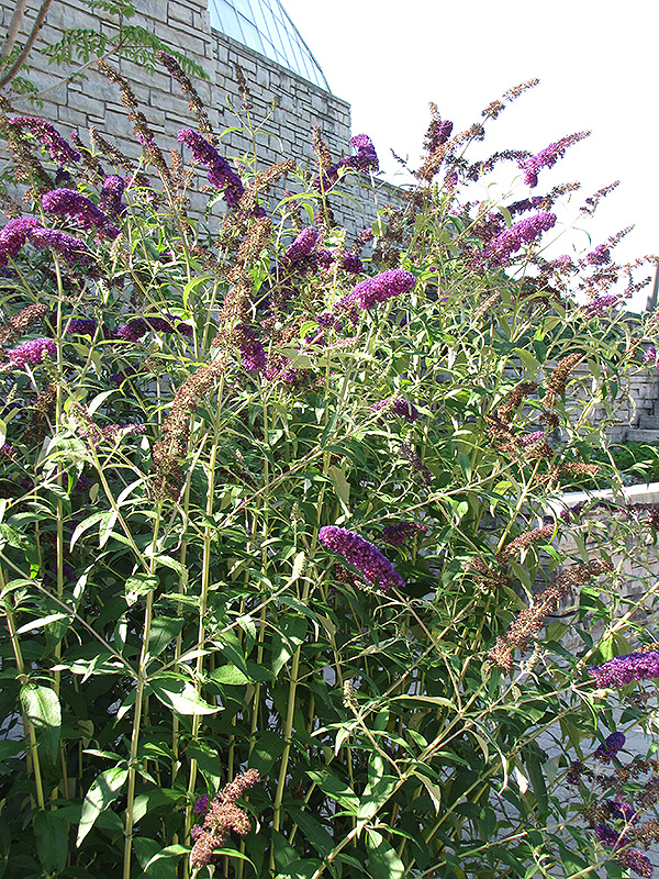 black knight butterfly bush buddleia davidii 39 black knight 39 in inver grove heights minnesota. Black Bedroom Furniture Sets. Home Design Ideas