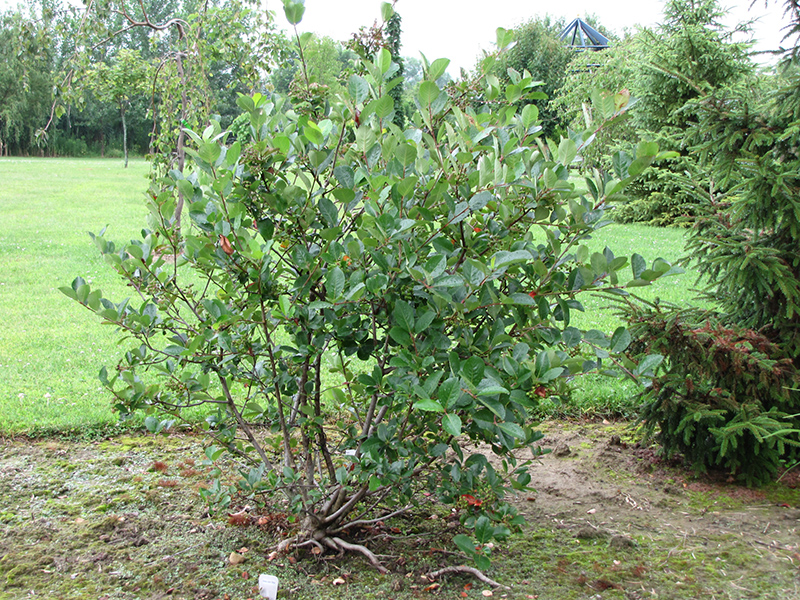 viking chokeberry aronia x prunifolia 39 viking 39 in inver grove heights minnesota mn at gertens. Black Bedroom Furniture Sets. Home Design Ideas