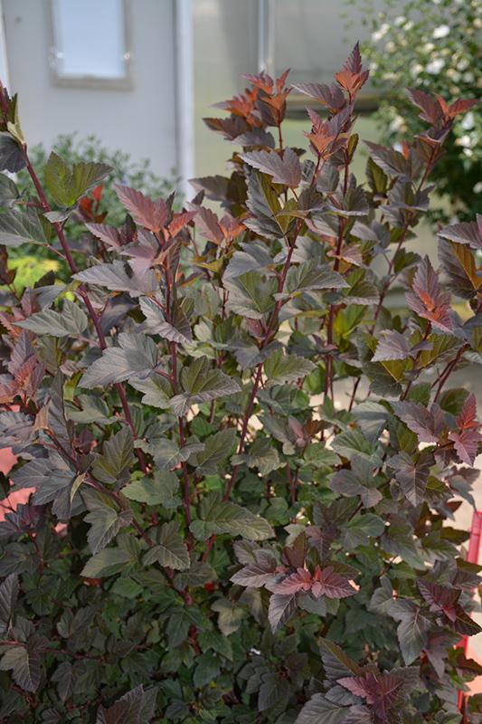 Best Wine Coolers >> Ginger Wine Ninebark (Physocarpus opulifolius 'SMNPOBLR') in Inver Grove Heights, Minnesota (MN ...