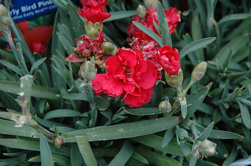 early bird chili pinks dianthus early bird chili at gertens