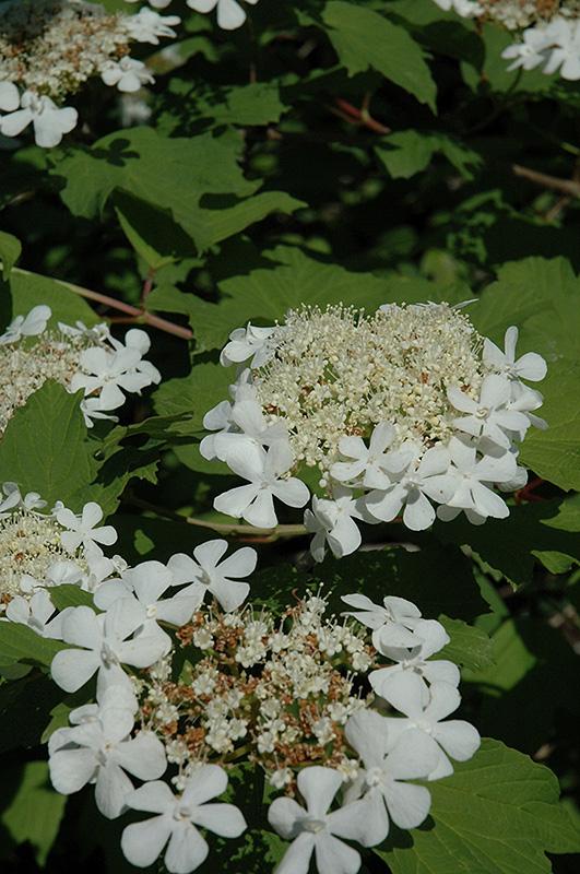 Wentworth Highbush Cranberry Viburnum Trilobum Wentworth