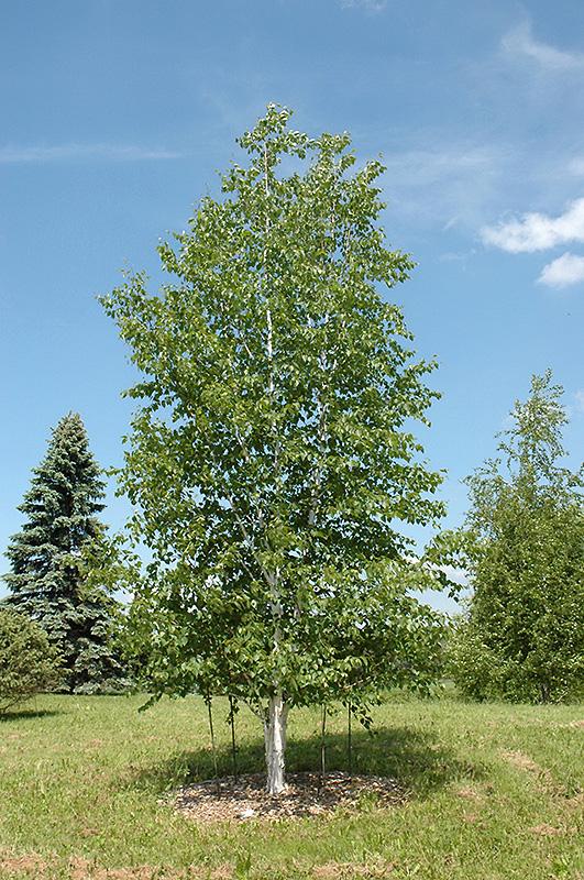 Prairie Dream Paper Birch (Betula papyrifera 'Varen') in ...