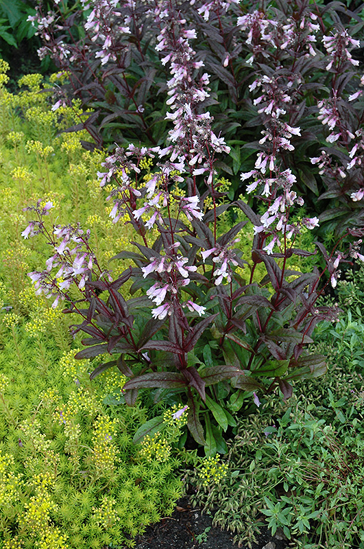 Dark Towers Beard Tongue (Penstemon U0027Dark Towersu0027) At Gertens