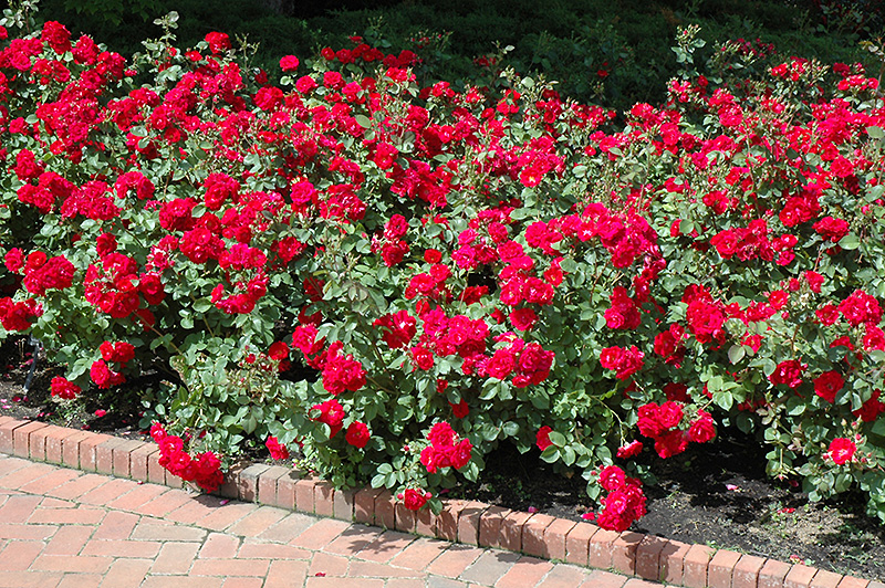 Champlain rose rosa 39 champlain 39 in inver grove heights minnesota mn at gertens - Planting rose shrub step ...