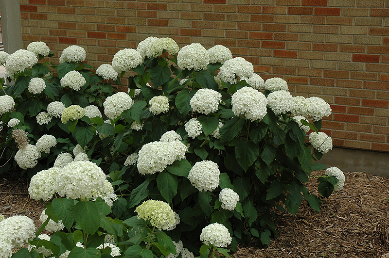 annabelle hydrangea hydrangea arborescens 39 annabelle 39 in inver grove heights minnesota mn. Black Bedroom Furniture Sets. Home Design Ideas