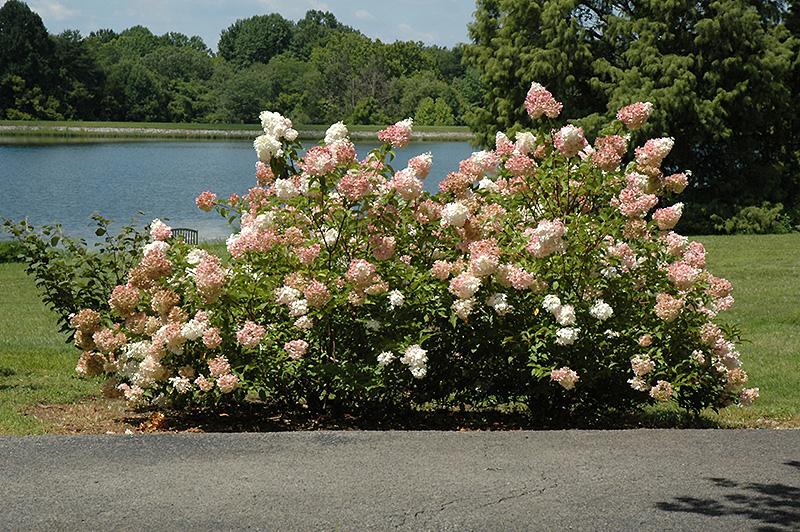 Vanilla Strawberry Hydrangea (Hydrangea paniculata 'Vanilla Fraise ...