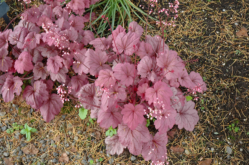 Georgia plum coral bells heuchera georgia plum in inver grove georgia plum coral bells heuchera georgia plum at gertens mightylinksfo
