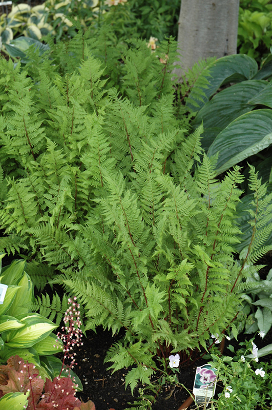 lady in red fern athyrium filixfemina lady in red in