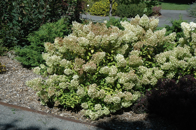 bobo hydrangea hydrangea paniculata 39 ilvobo 39 in inver. Black Bedroom Furniture Sets. Home Design Ideas