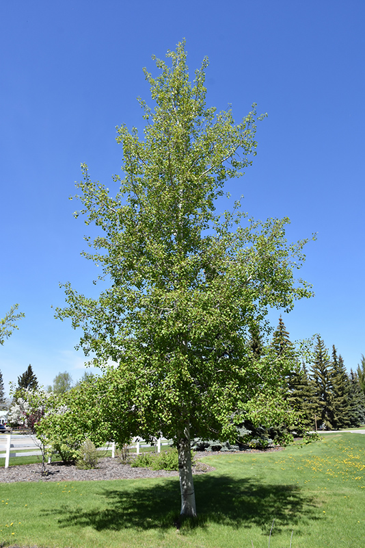 Quaking Aspen Populus Tremuloides In Inver Grove Heights