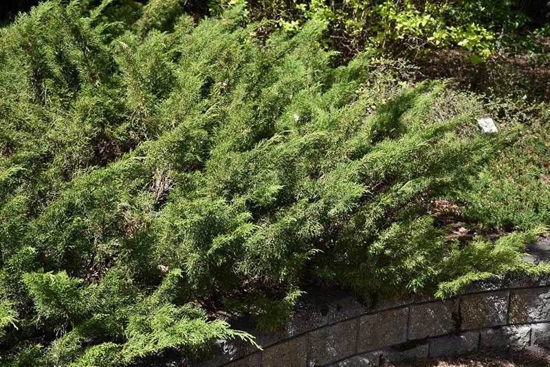 Juiperus sabina mature height spread