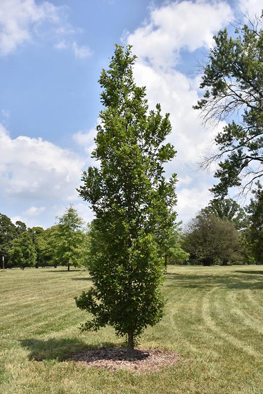 Streetspire Oak Quercus JFS KW1QX in Inver Grove
