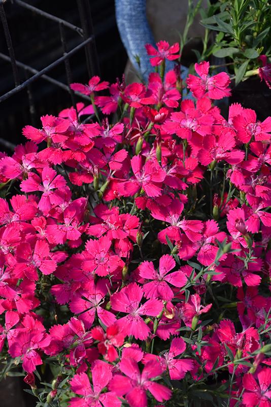 zing rose pinks dianthus deltoides zing rose at gertens
