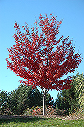 Autumn Spire Red Maple (Acer rubrum 'Autumn Spire') at Gertens