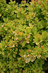 Sunsation Japanese Barberry (Berberis thunbergii