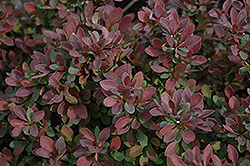 Royal Burgundy Japanese Barberry (Berberis thunbergii 'Gentry') at Gertens