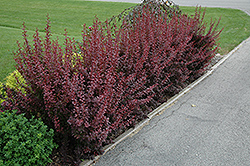 Ruby Carousel Japanese Barberry (Berberis thunbergii 'Bailone') at Gertens