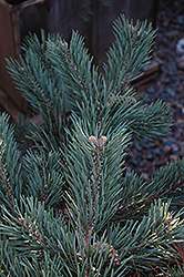 Albyn Prostrate Scotch Pine (Pinus sylvestris 'Albyn Prostrata') at Gertens