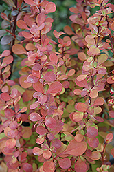 Orange Rocket Japanese Barberry (Berberis thunbergii