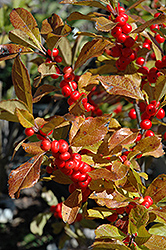 Red Sprite Winterberry (Ilex verticillata 'Red Sprite') at Gertens