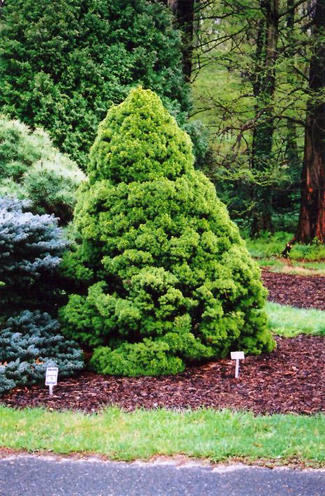 Best Lawn Fertilizer >> Dwarf Alberta Spruce (Picea glauca 'Conica') in Inver ...