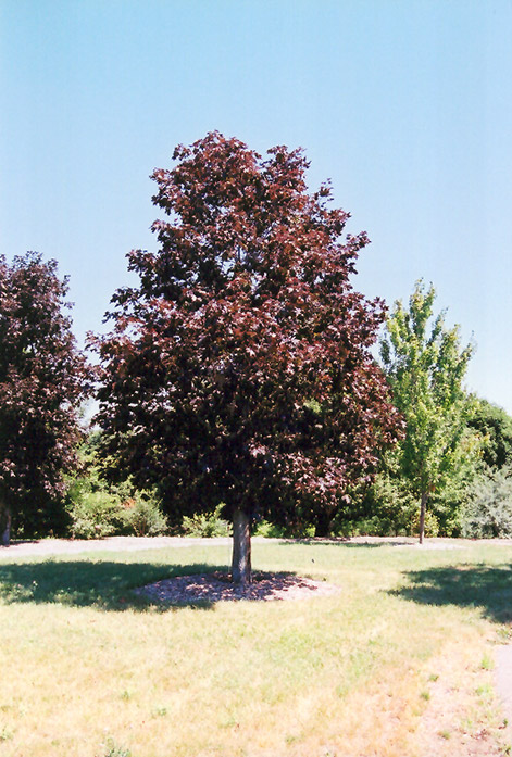 Royal Red Norway Maple Acer Platanoides Royal Red In