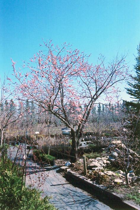 Westcot Apricot Prunus Mandshurica Westcot In Inver