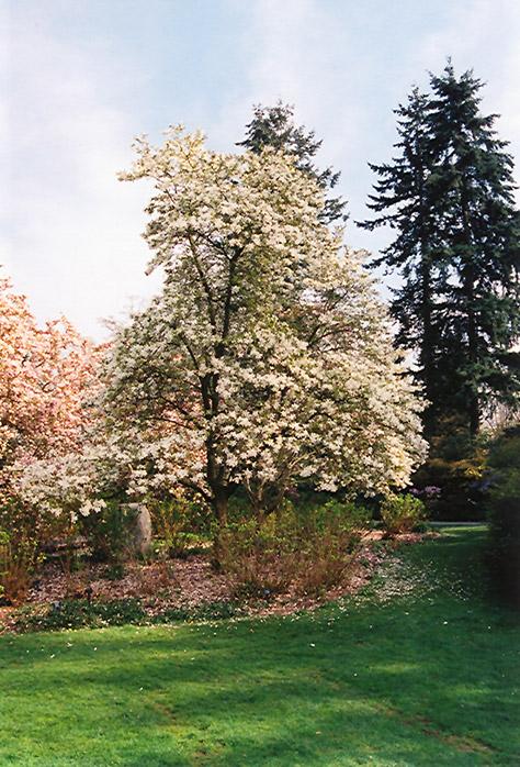 Merrill Magnolia Magnolia X Loebneri Merrill In Inver Grove