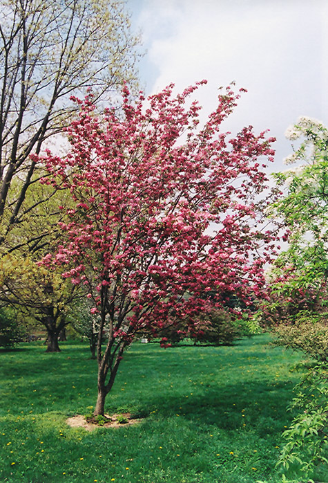 Red Baron Flowering Crab Malus Red Baron In Inver