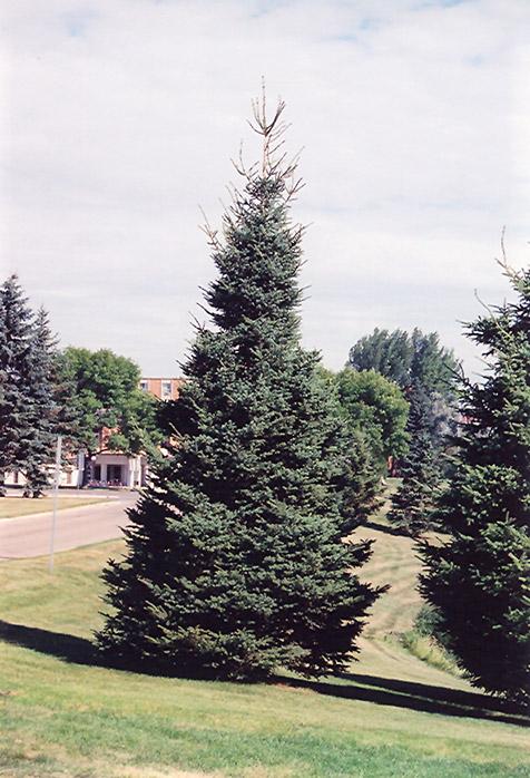 Black Hills Spruce Picea Glauca Densata In Inver Grove