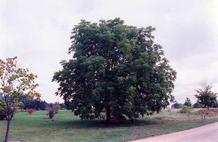 Black Walnut (Juglans nigra) in Inver Grove Heights