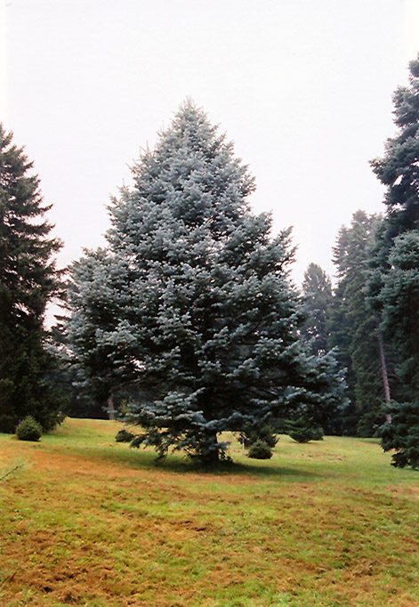 Candicans White Fir Abies Concolor Candicans In Inver