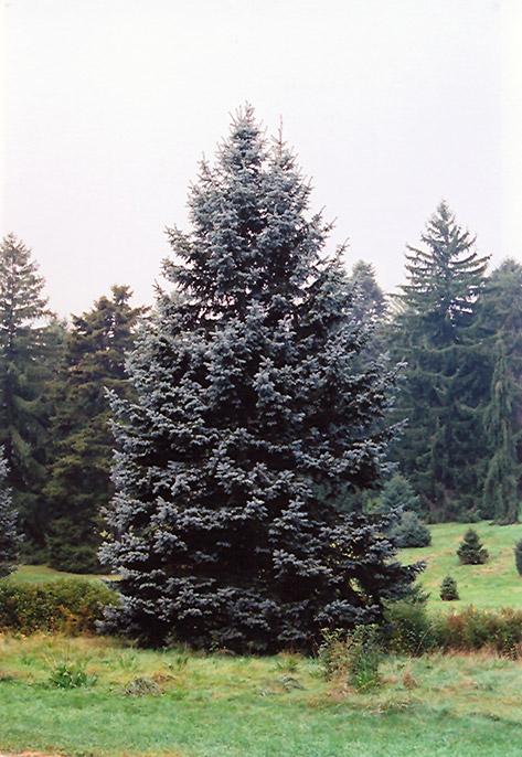 Hoopsii Colorado Blue Spruce Picea Pungens Hoopsii In