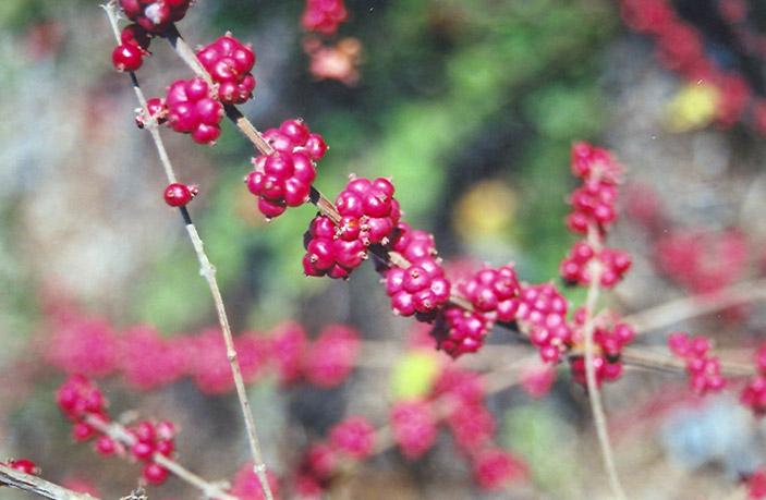 Coralberry Symphoricarpos Orbiculatus In Inver Grove