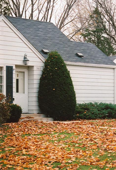 Best Lawn Fertilizer >> Upright Japanese Yew (Taxus cuspidata 'Capitata') in Inver Grove Heights, Minnesota (MN) at Gertens
