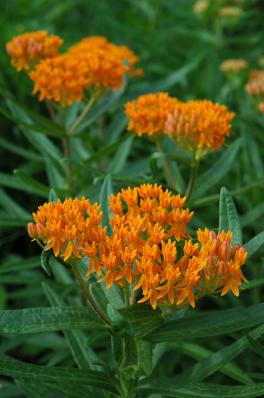 Butterfly Weed Asclepias Tuberosa In Inver Grove Heights