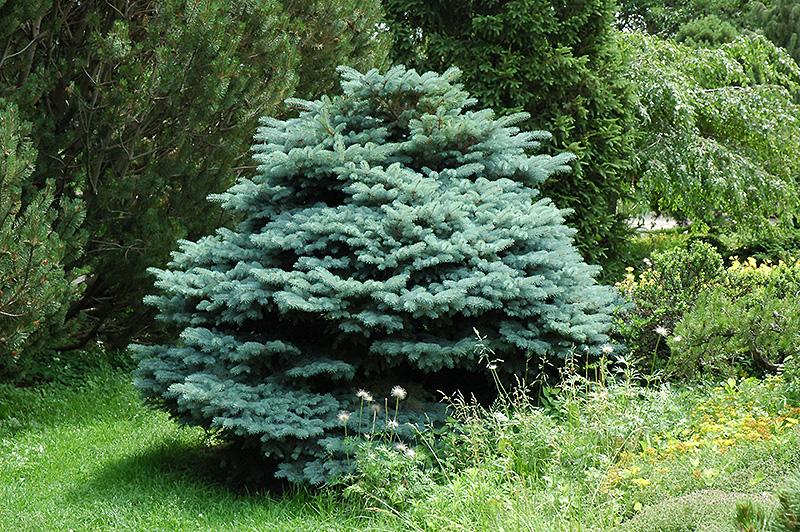 Globe Blue Spruce Picea Pungens Globosa In Inver Grove