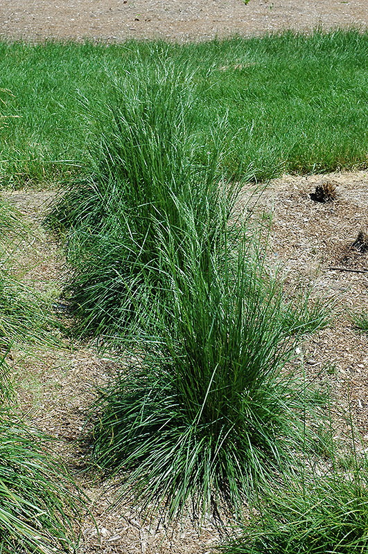 Best Lawn Fertilizer >> Schottland Hair Grass (Deschampsia cespitosa 'Schottland ...