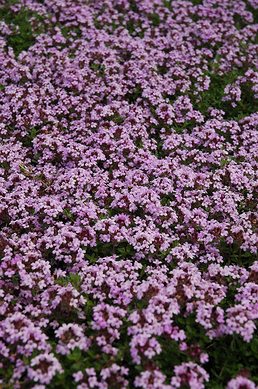 Red Creeping Thyme Thymus Praecox Coccineus In Inver