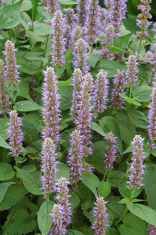 Best Lawn Fertilizer >> Blue Fortune Anise Hyssop (Agastache 'Blue Fortune') in Inver Grove Heights, Minnesota (MN) at ...