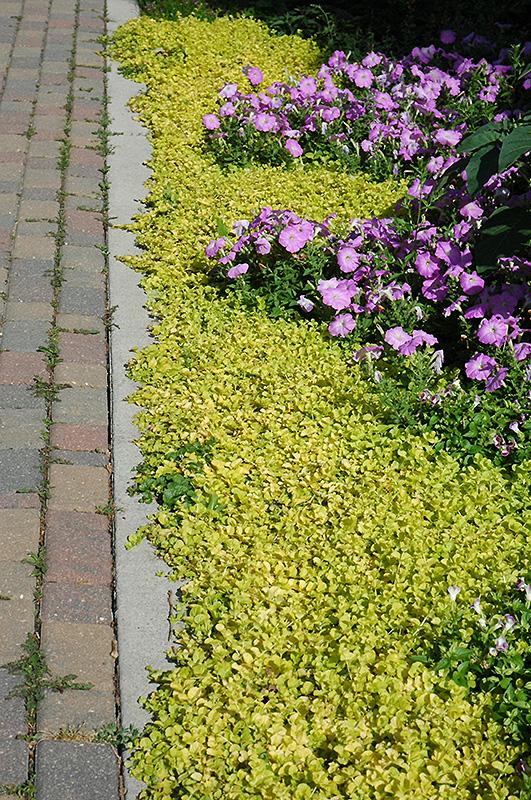 Golden Creeping Jenny Lysimachia Nummularia Aurea In
