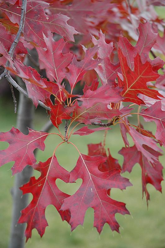 Northern Pin Oak Quercus Ellipsoidalis In Inver Grove