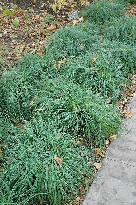 Blue Sedge Carex Glauca In Inver Grove Heights