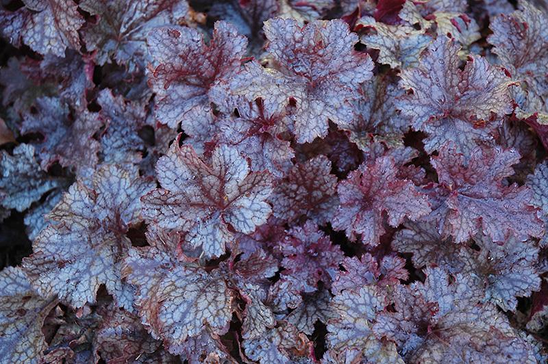 Plum Pudding Coral Bells Heuchera Plum Pudding In