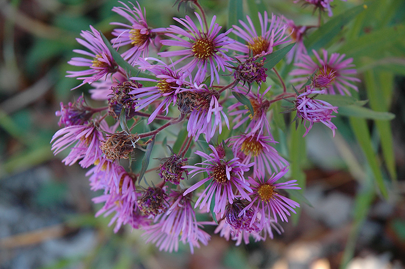 New England Aster Aster Novae Angliae In Inver Grove