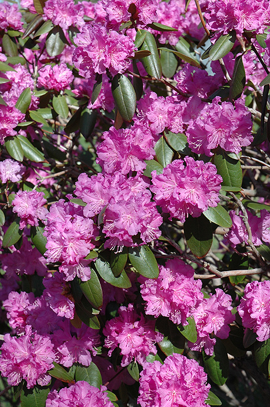 P J M Rhododendron Rhododendron P J M In Inver Grove